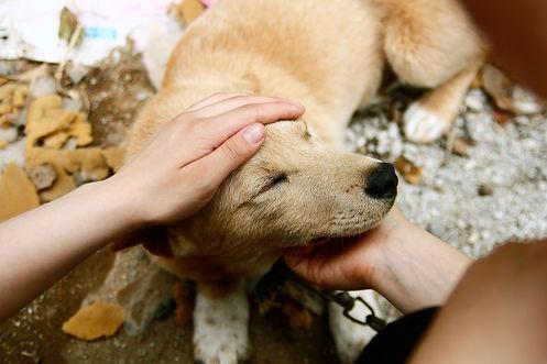 love-my-jindo-dog-pet-trust-building-min