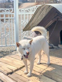 love-my-jindo-featured-dog-smiling-min.j