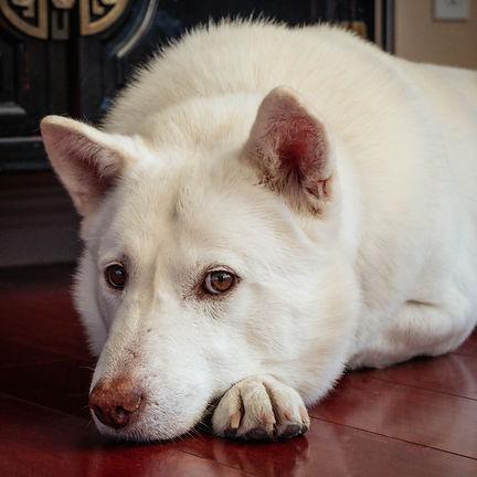 love-my-jindo-rescue-dog-mochi-profile-min.jpg