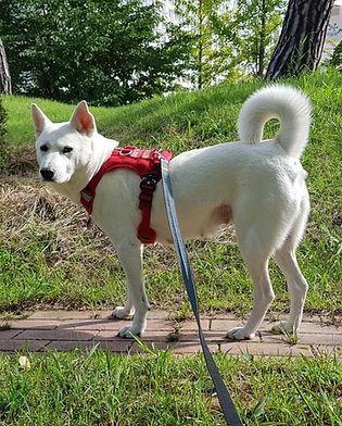Happy Jindo Dog