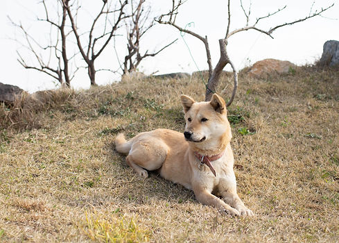 love-my-jindo-dog-outside-hill-min.jpg