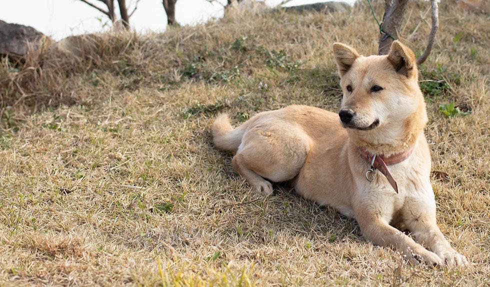 love-my-jindo-dog-outside-hill-min_edited.jpg