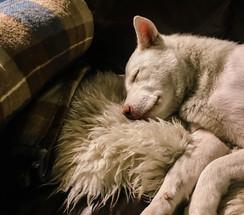 love-my-jindo-couch-nap-mochi.jpg