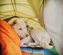 love-my-jindo-dog-tent-camping.jpg