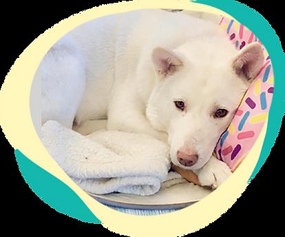 cute jindo puppy banner