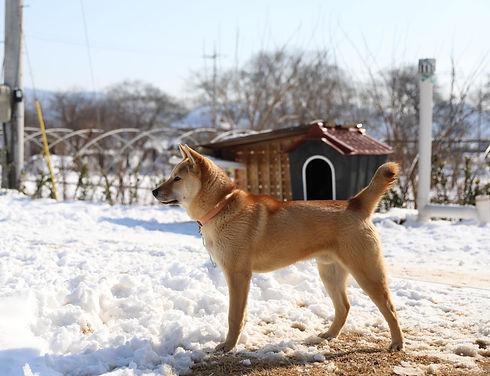 love-my-jindo-dog-snow-sesame-min_edited