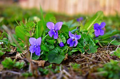 violet-4079484_1920.jpg