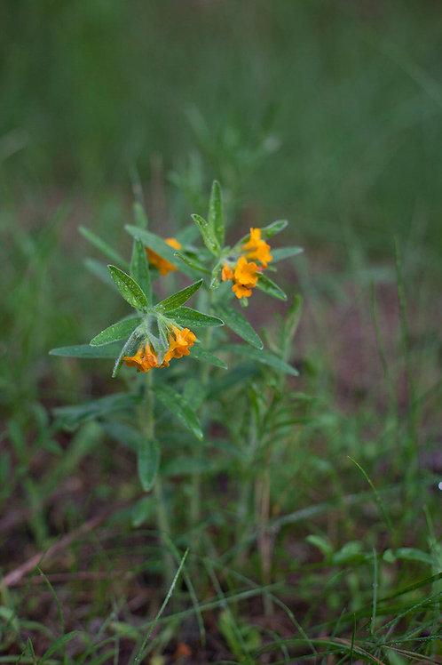 Skin Soothing Plants of the Prairie - Rachel Liester