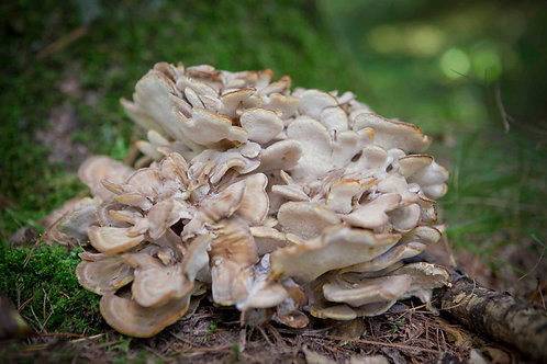 Edible, Medicinal and Dye Mushrooms | Carla Kramer