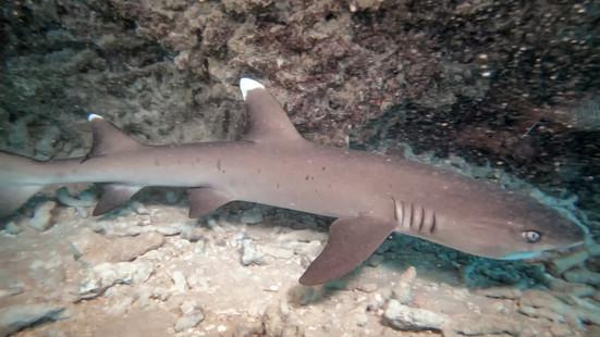 2A white tip reef shark_1.mp4.08_42_17_2