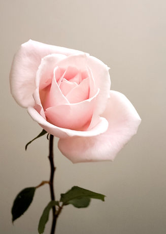 A%20Rose%20with%20a%20story%20on%20Menta