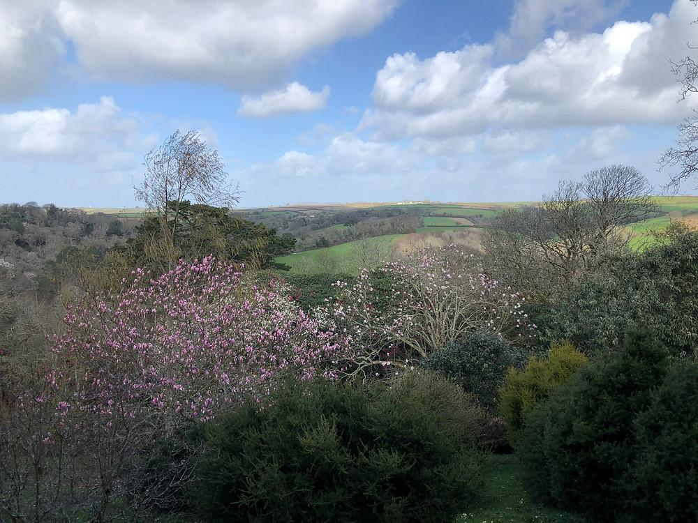 Magnolia trees in the garden at Caerhays Castle