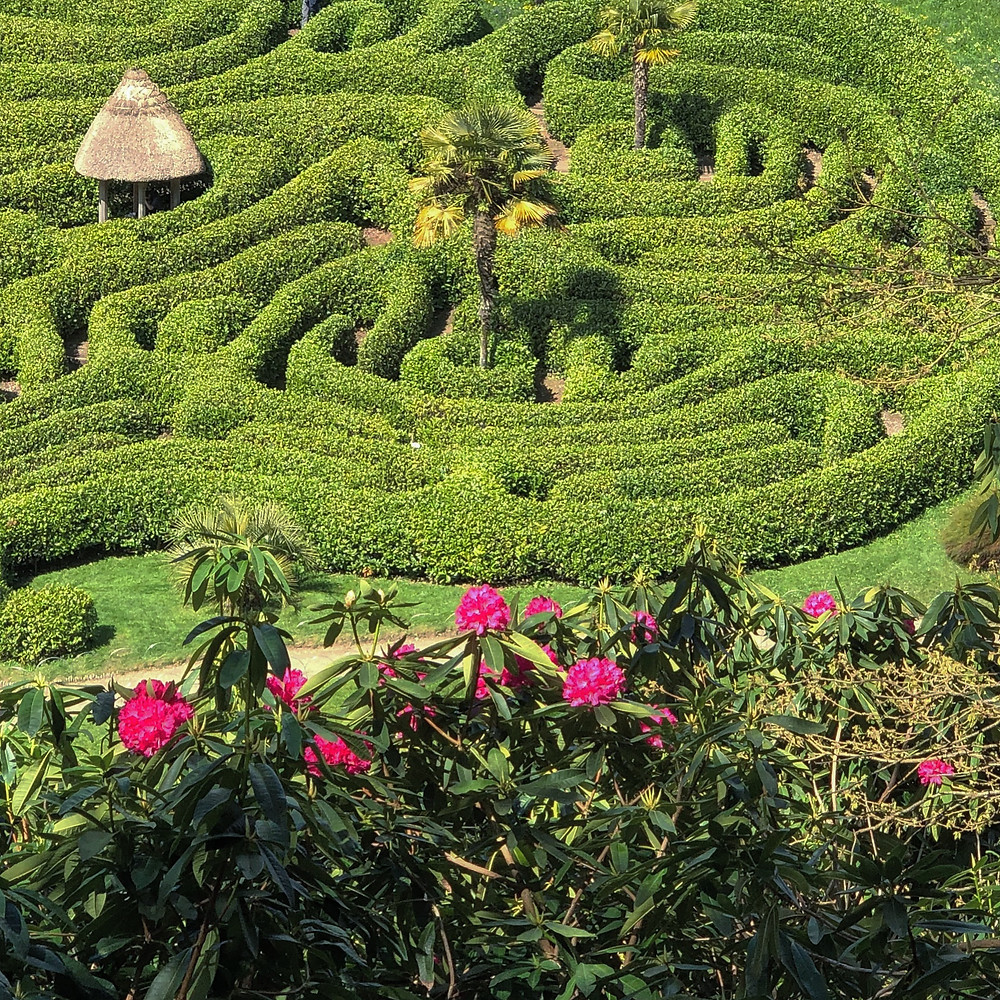 Looking towards the maze - a popular attraction at Glendurgan garden near Falmouth.