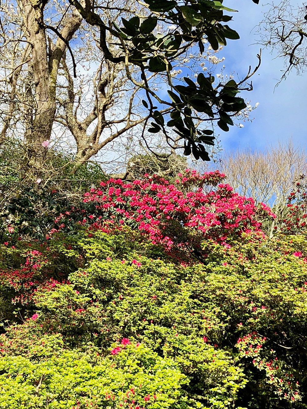 Red rhododendrons in the Cornish garden at Caerhays
