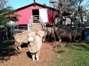 Nossas amigas: as ovelhas