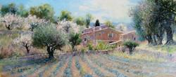 Lavender farm in Spring