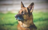 schafer-dog-4074699_1920.jpg