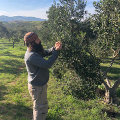 Our farmer, Shmulik, inspecting his olive trees in the settlement called Rotem