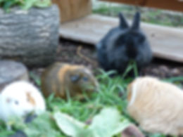 rabbit and guinea pigs