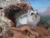 Russian Hamster