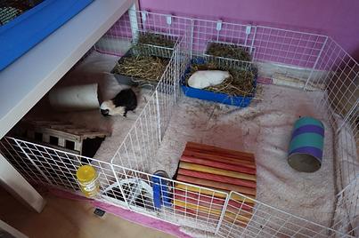 guinea pig split cage