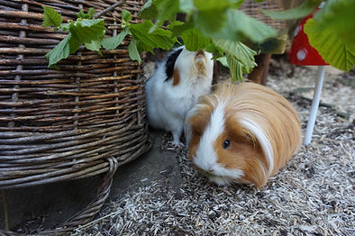branches for guinea pigs