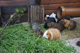 Guinea Pig Forage