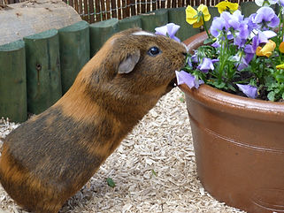 plants for guinea pigs