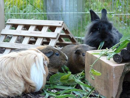 Guinea Pigs & Rabbits