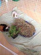 bonding guinea pigs