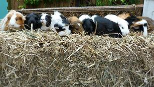 guinea pig herd