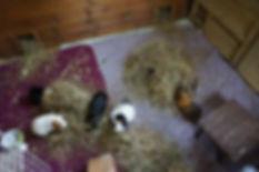 homemade guinea pig cage