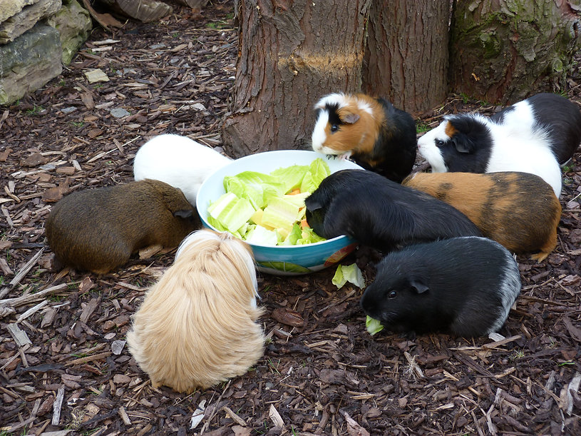vegetables for guinea pigs