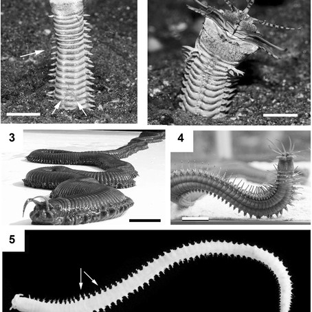 Bulbichnus, a new trace fossil of eunicid polychaete worm from Miocene of Italy: first discovery in