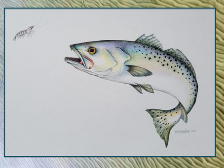 Spotted Sea Trout (a.k.a. Speckled Trout)