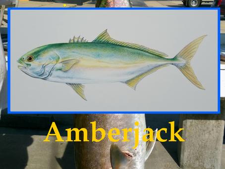 Finally...Amberjack!