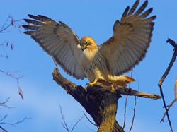 Pale Male spreading wings