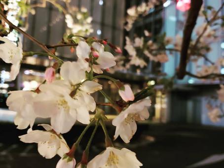 🌸夜桜はせつない