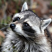 raccoon-removal-nashville.jpg