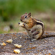 chipmunk-removal-nashville-tn.jpg