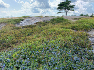 Blueberry barrens in Downeast Maine.