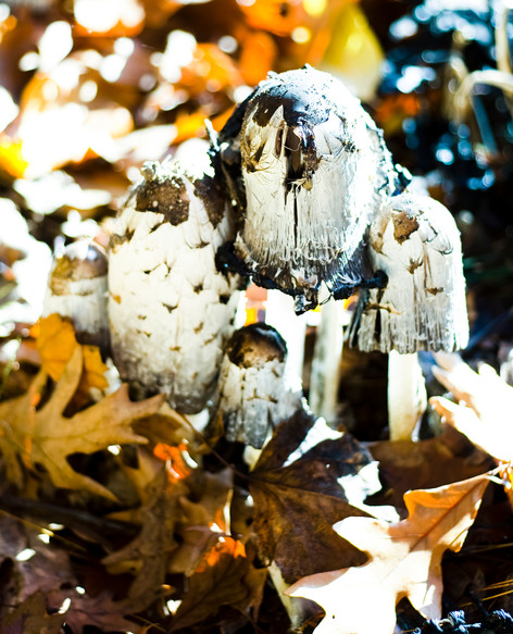 A cluster of shaggy Maine mushrooms