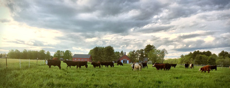 The farm's cattle are moved 1-2 times a day to new pastures as part of the farm's rotational grazing