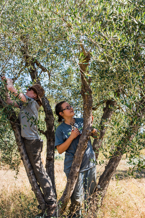 Blake and Bianca, summer interns, demonstrate what they  learned at Spannocchia while pruning the olive trees