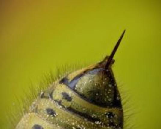 bee-stinger