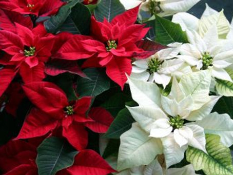 I Kinda Hate Poinsettias….