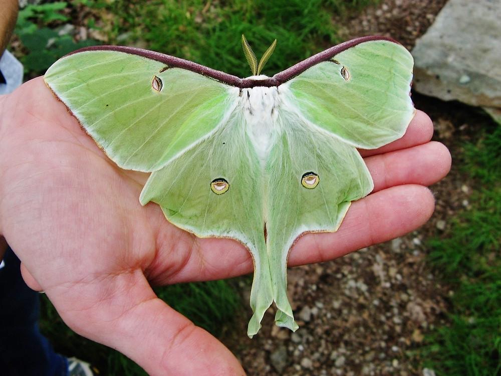 Luna Moth (photo credit: Jay Huggins on Flickr)