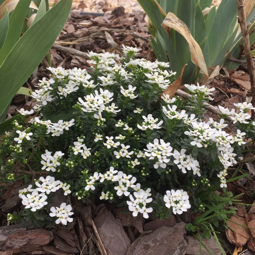 Cute clumps of white clustered flowers