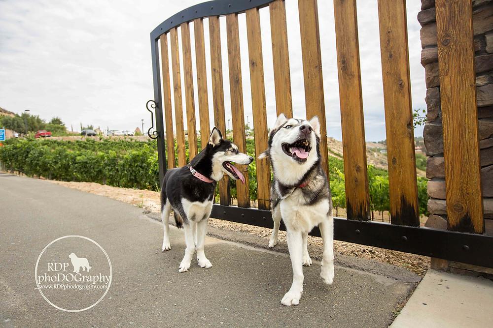 Huskies at Temecula winery | San Diego Pet Photographer