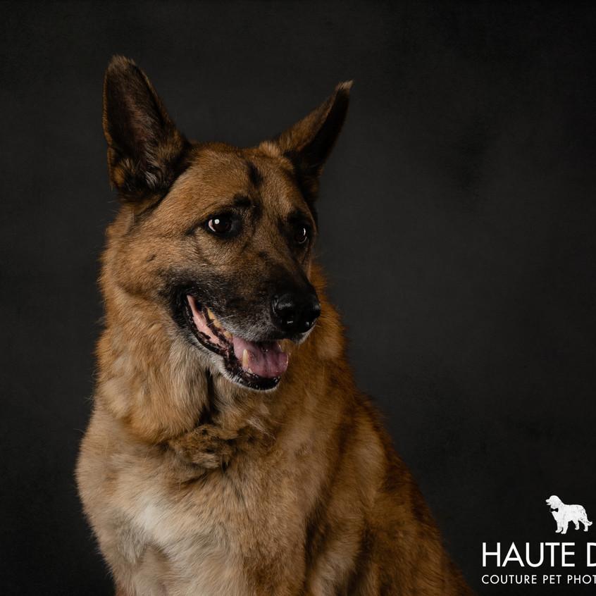 Dallas dog photographer German Shepherd